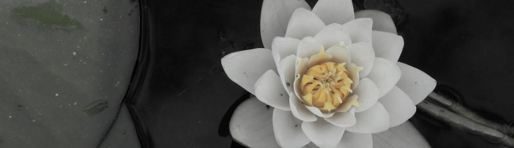 white lotus flower in water